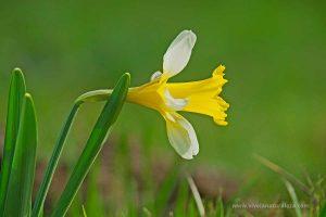 narciso trompón (Narcissus pseudonarcissus)