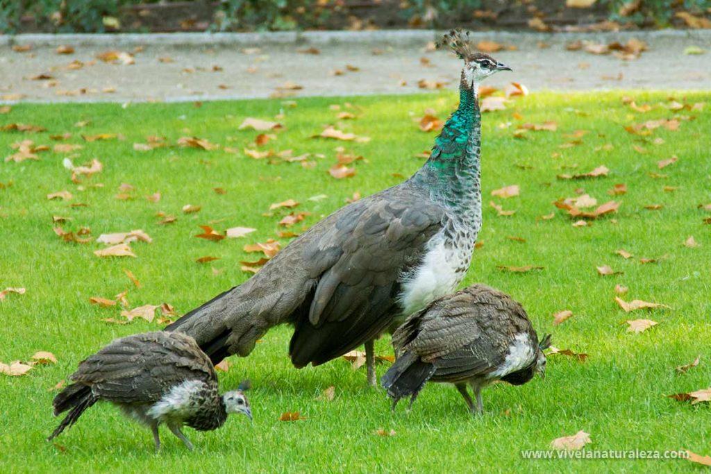Pavo real hembra (pavo cristatus) con sus pollos