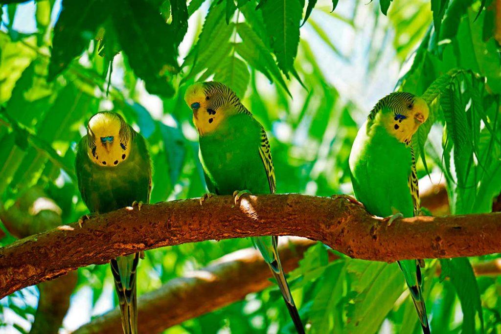 Periquito australiano (Melopsittacus undulatus) tambien llamado periquito comun o periquito ondulado