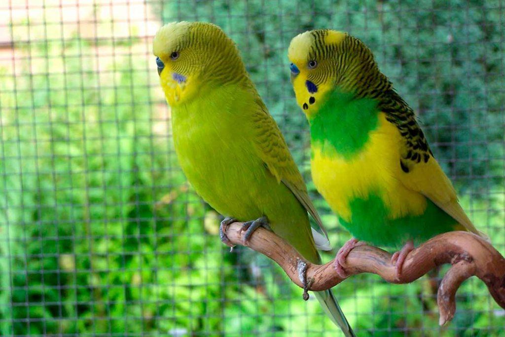 Periquitos de colores (Melopsittacus undulatus)