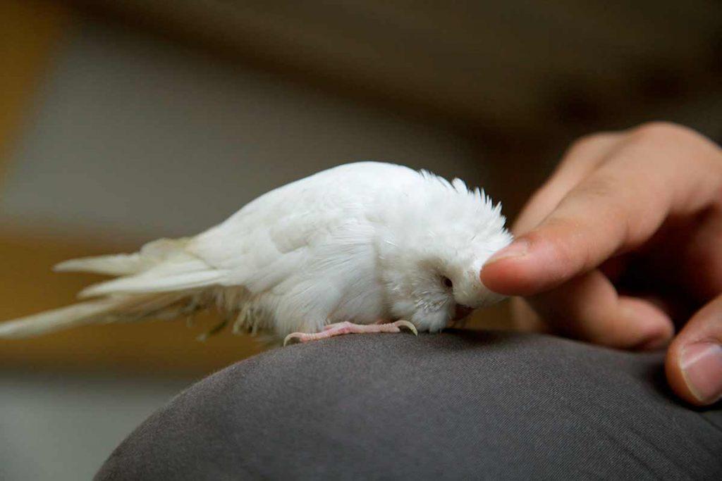 Acariciendo un periquito australiano de color blanco (Melopsittacus undulatus)