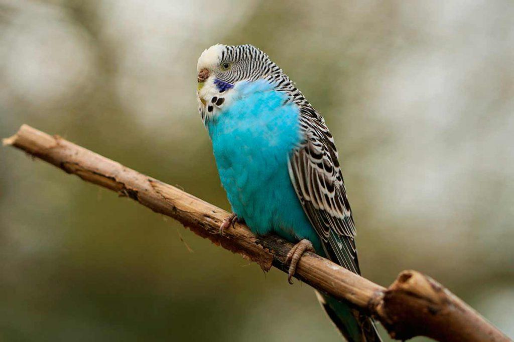 Periquito azul (Melopsittacus undulatus)