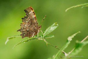 mariposa C-blanca (Polygonia c-album)