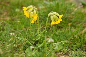 primavera (Primula veris)