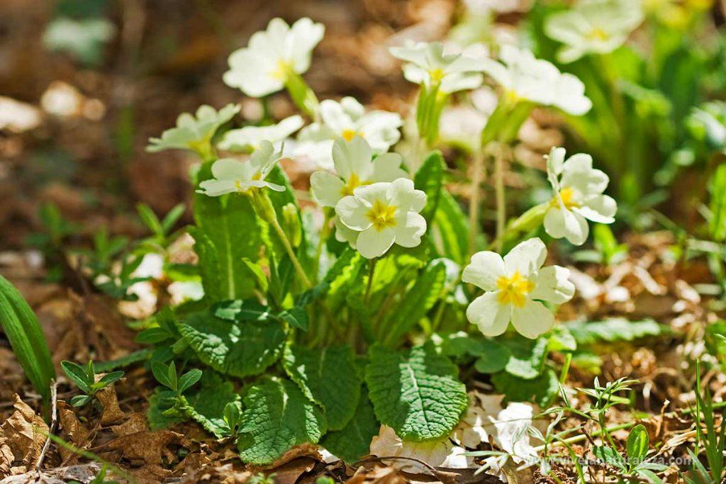 Primavera en flor (Primula vulgaris)