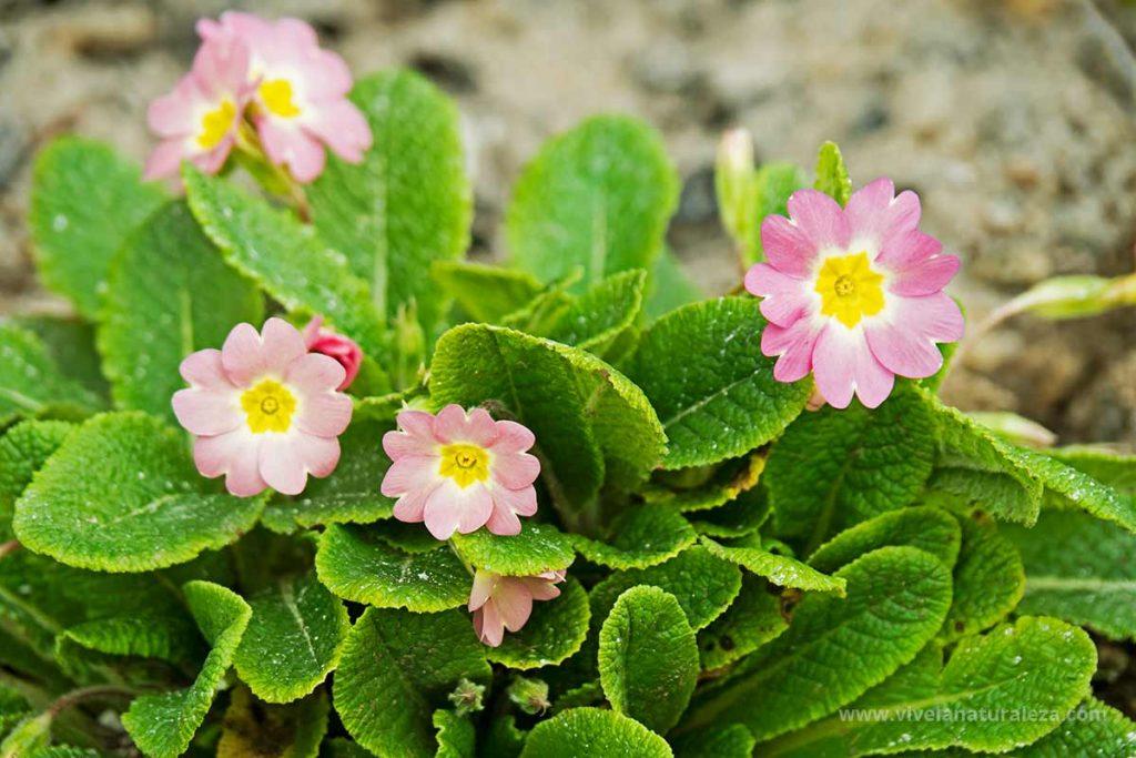 Primavera de jardín (Primula vulgaris)