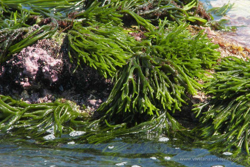 Ramallo de mar (Codium tomentosum)