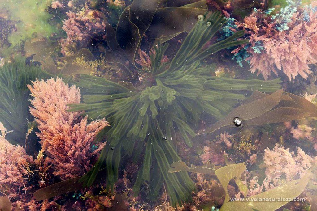 Ramallo de mar (Codium tomentosum) en un charco que deja la marea.