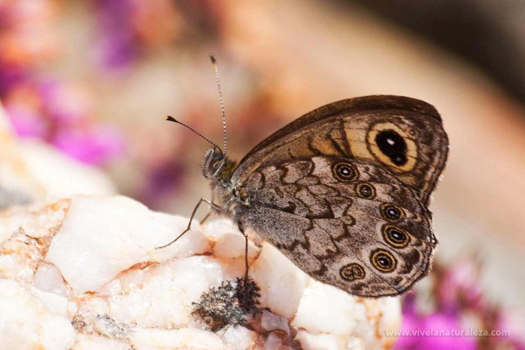 mariposa saltacercas (Lasiommata megera)
