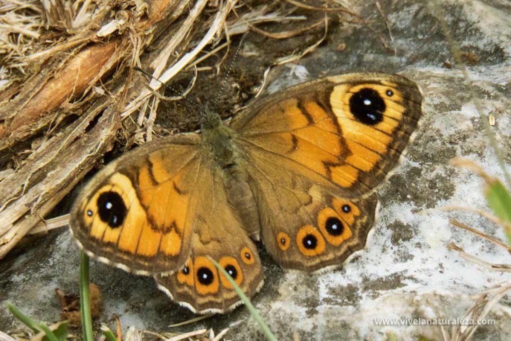 Hembra de la mariposa saltacercas (Lasiommata megera)