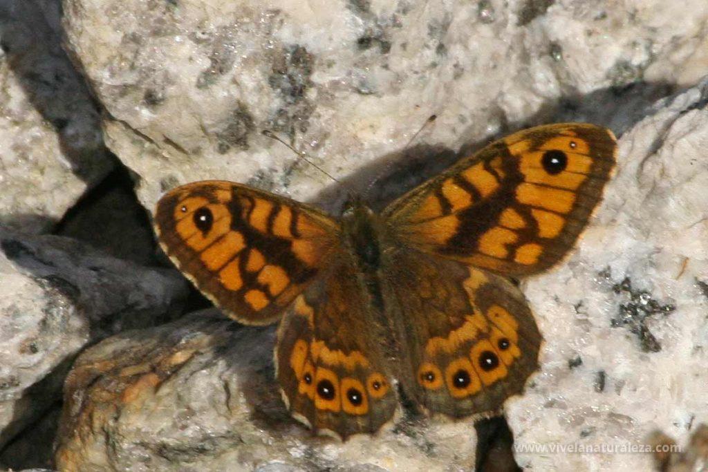 Macho de la mariposa saltacercas (Lasiommata megera)