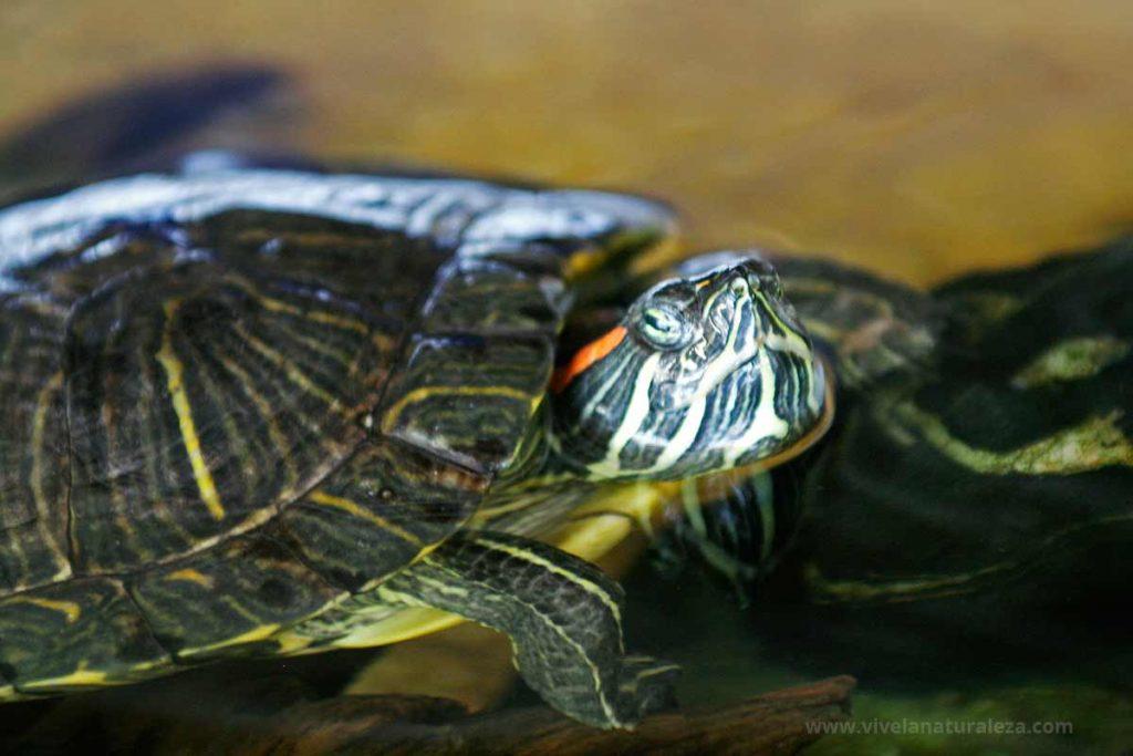 Tortuga de florida. También llamada galapago de florida, tortuga de orejas rojas o jicotea elegante (Trachemys scripta elegans)
