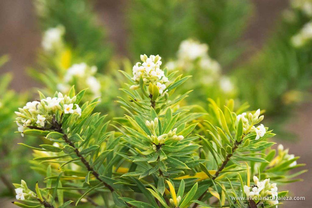 Flores de Torvisco (Daphne gnidium)