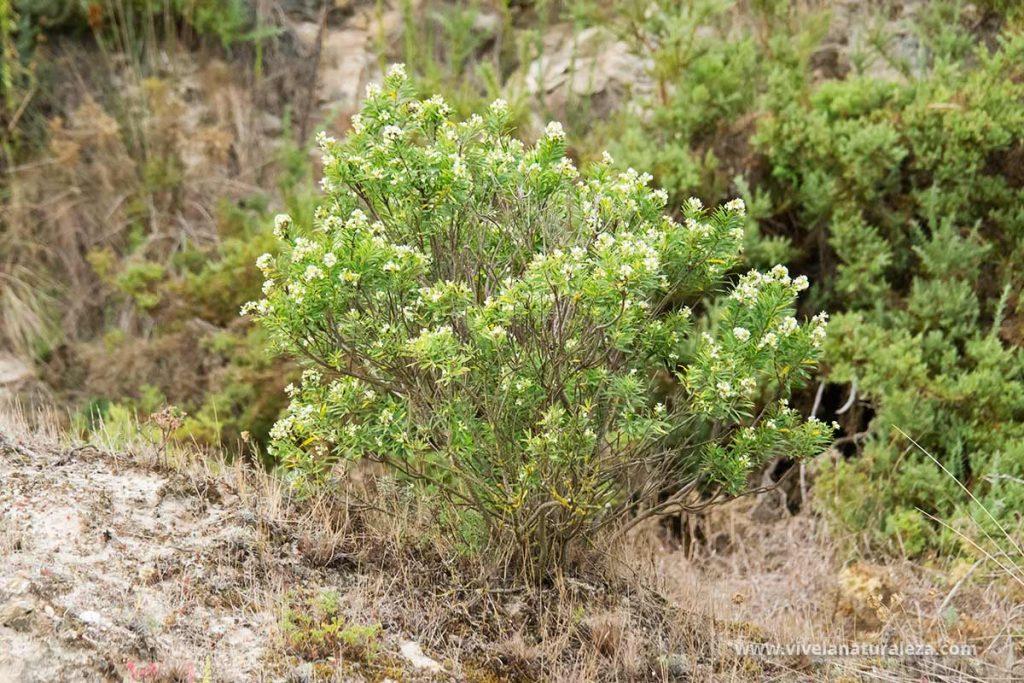 Vista del arbusto de Torvisco (Daphne gnidium)