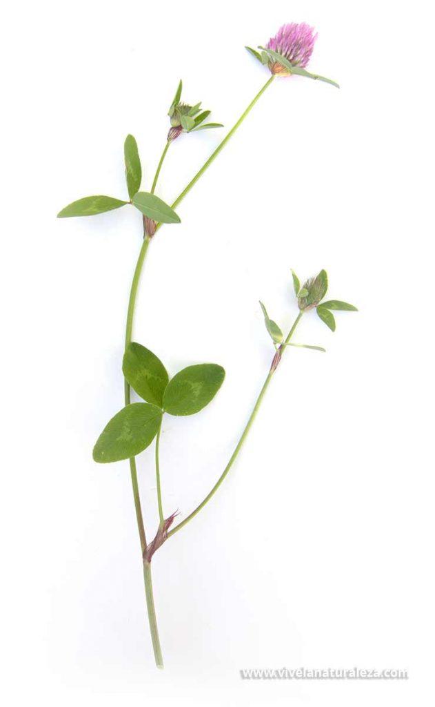 Trebol rojo o trebol de prado (Trifolium pratense) sobre fondo blanco