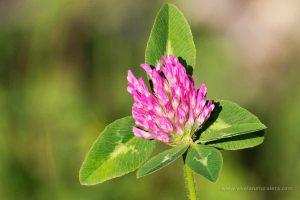 trébol rojo o trébol de prado (Trifolium pratense)