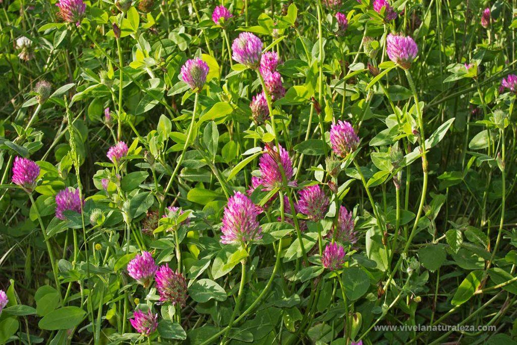 Mata de trebol rojo o trebol de prado (Trifolium pratense)