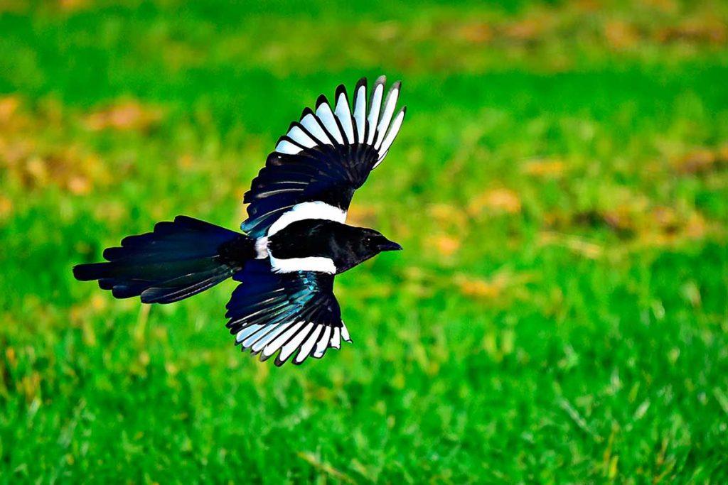 Urraca volando (Pica pica)