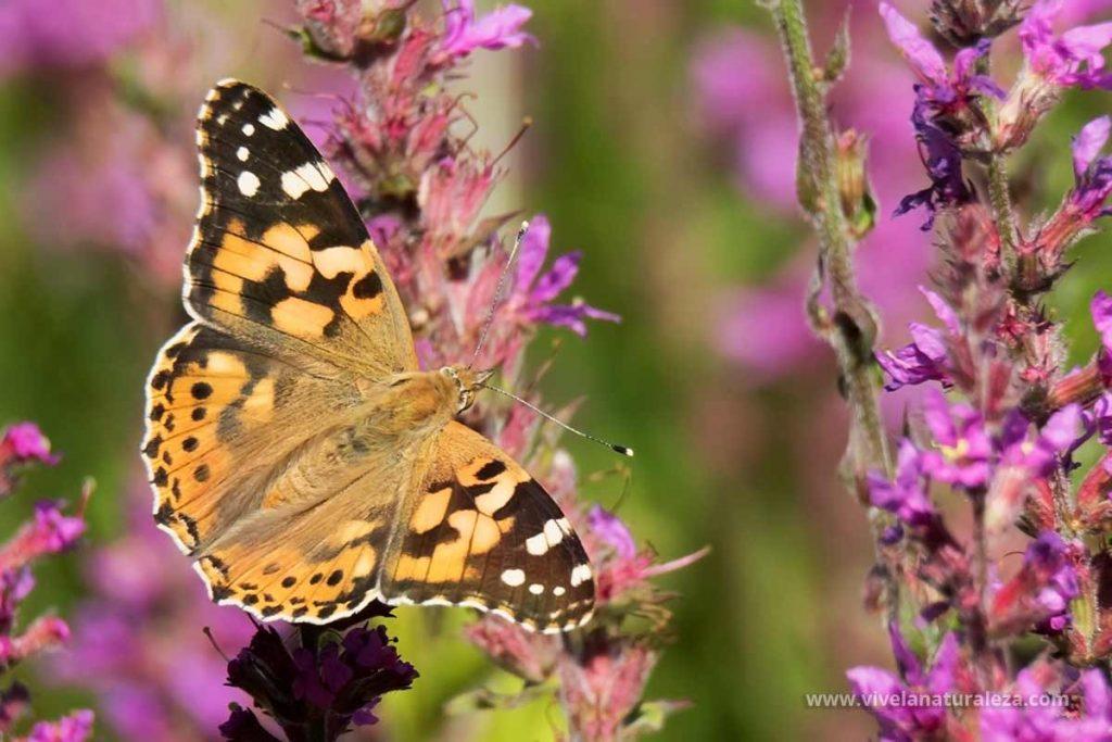 mariposa Vanesa de los cardos (Vanessa cardui)