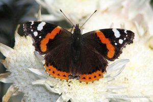 mariposa vulcana, almirante rojo o numerada (Vanessa atalanta)