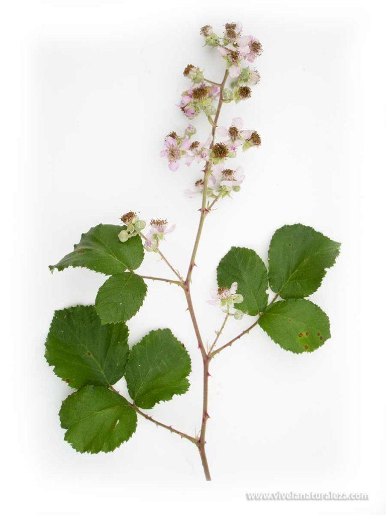 Ramita de zarzamora (Rubus ulmifolius) con hojas y flores sobre fondo blanco. Con las hojas de zarza se prepara un te delicioso