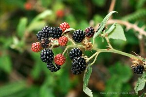 Zarza o zarzamora y las moras - Rubus ulmifolius