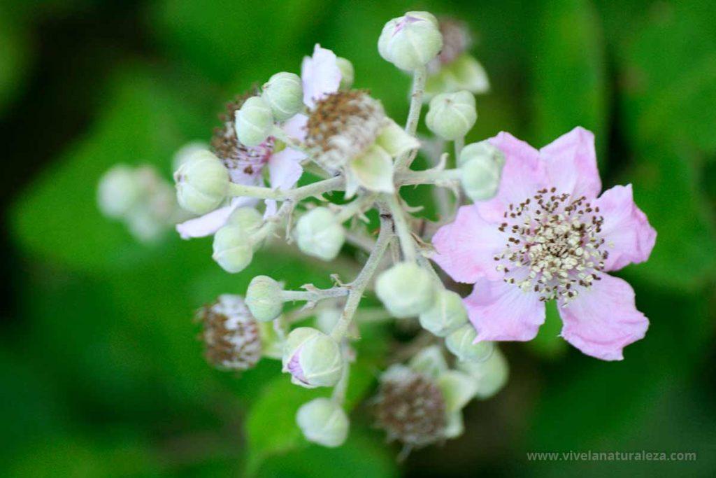 Flores de zarza, también llamada zarzamora (Rubus ulmifolius)