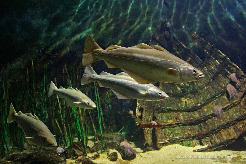 Grupo de abadejos peces