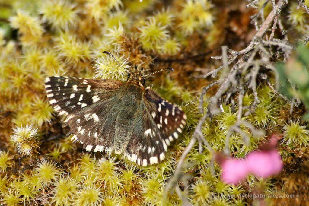 mariposa ajedrezada menor (Pyrgus malvae)