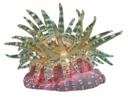 Anemona de mar verrugosa (Aulactinia verrucosa, Bunodactis verrucosa)