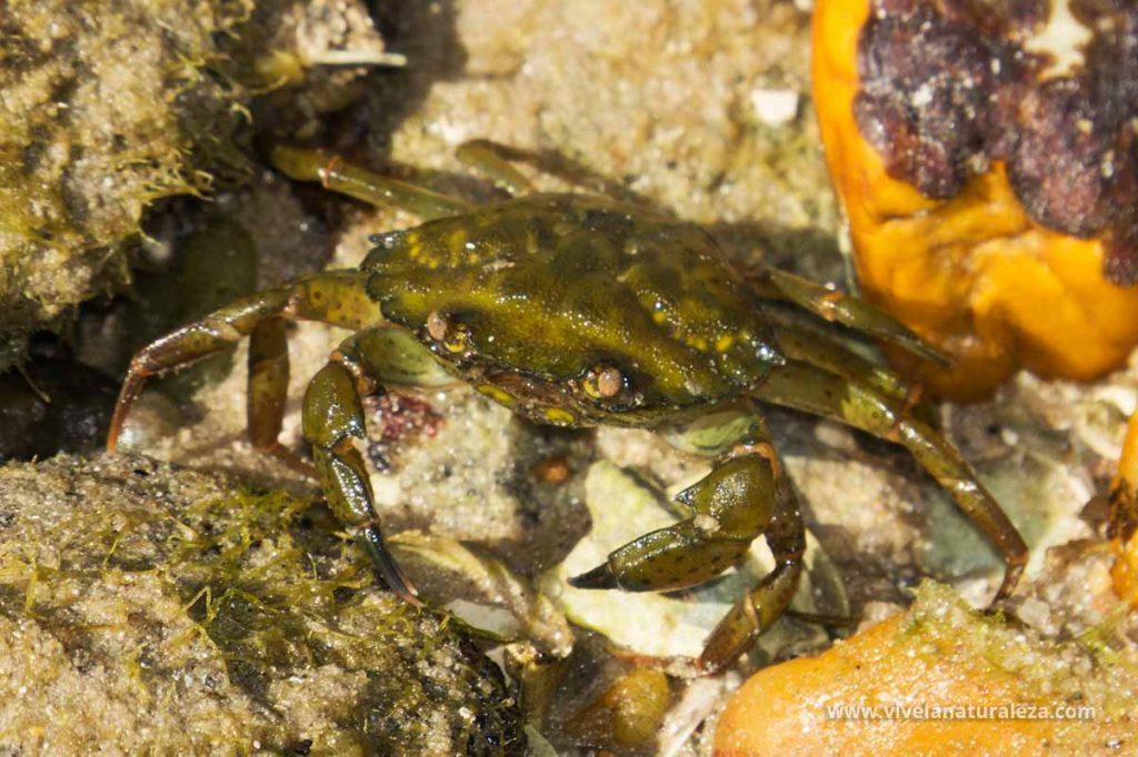 cangrejo verde o común (Carcinus maenas, Carcinides maenas)