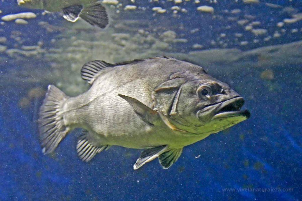 Cherna pez(Polyprion americanus, P. americanum)