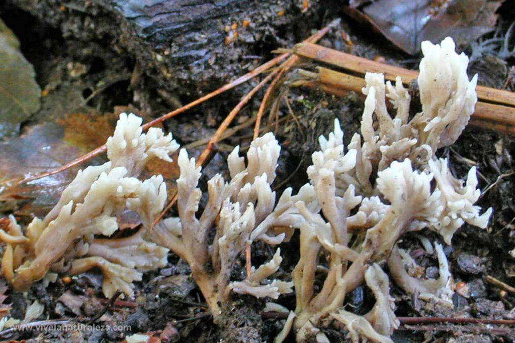 seta clavaria en forma de cresta o clavaria crestada (Clavulina cristata)