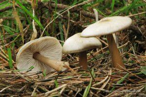 seta Colibia butirácea (Rhodocollybia butyracea = Collybia butyracea)