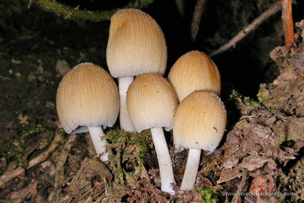 coprino micado (Coprinellus micaceus)