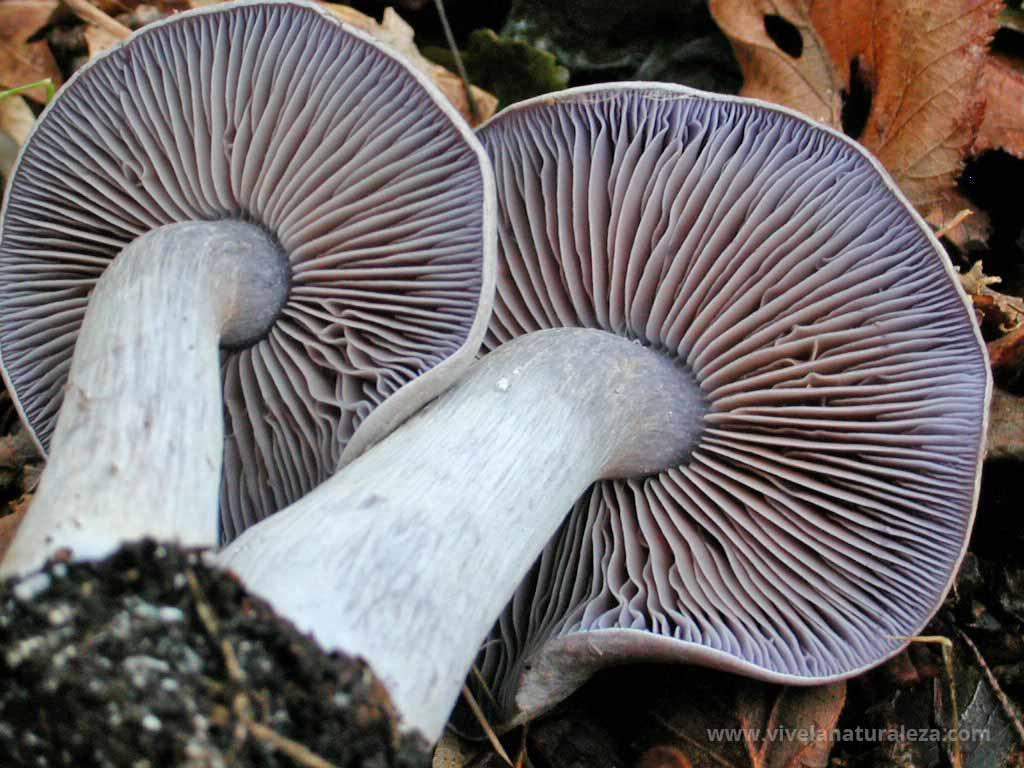 cortinario blanco violáceo (Cortinarius alboviolaceus)