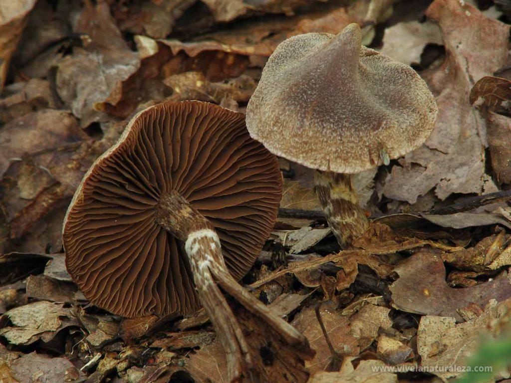 Cortinarius palaceus