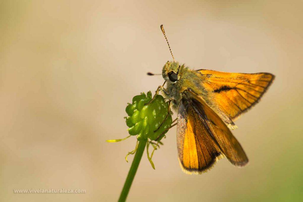 mariposa dorada de orla ancha (Ochlodes sylvanus = Ochlodes venatus)