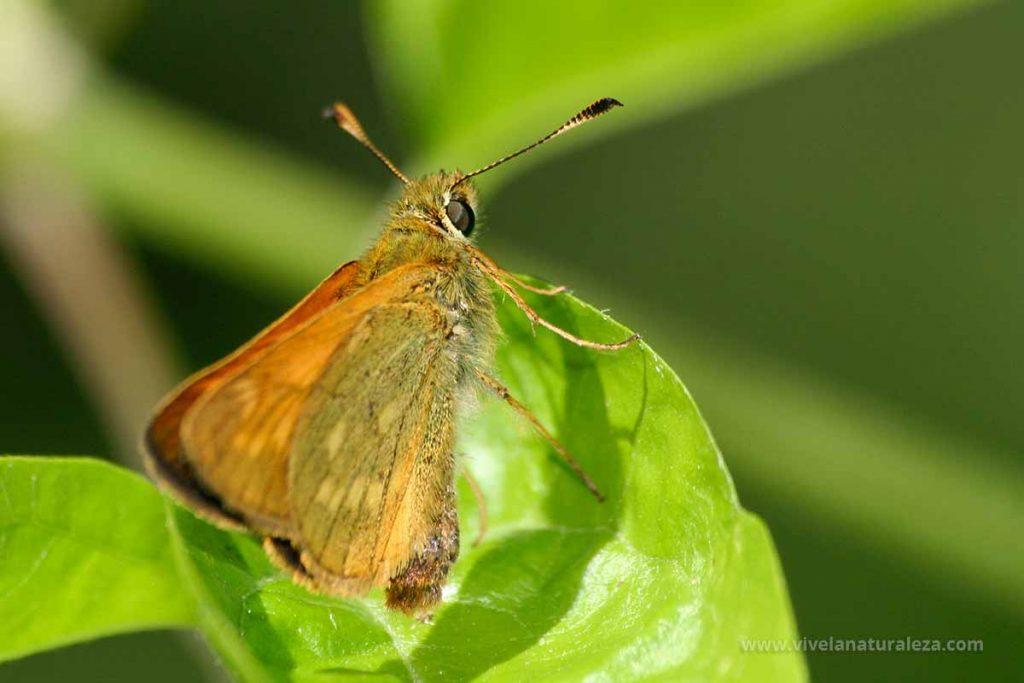 Mariposa dorada de orla ancha con las alas cerradas (Ochlodes sylvanus, Ochlodes venatus, Ochlodes venata)
