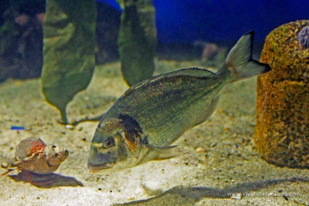 Dorada pez (Sparus aurata)