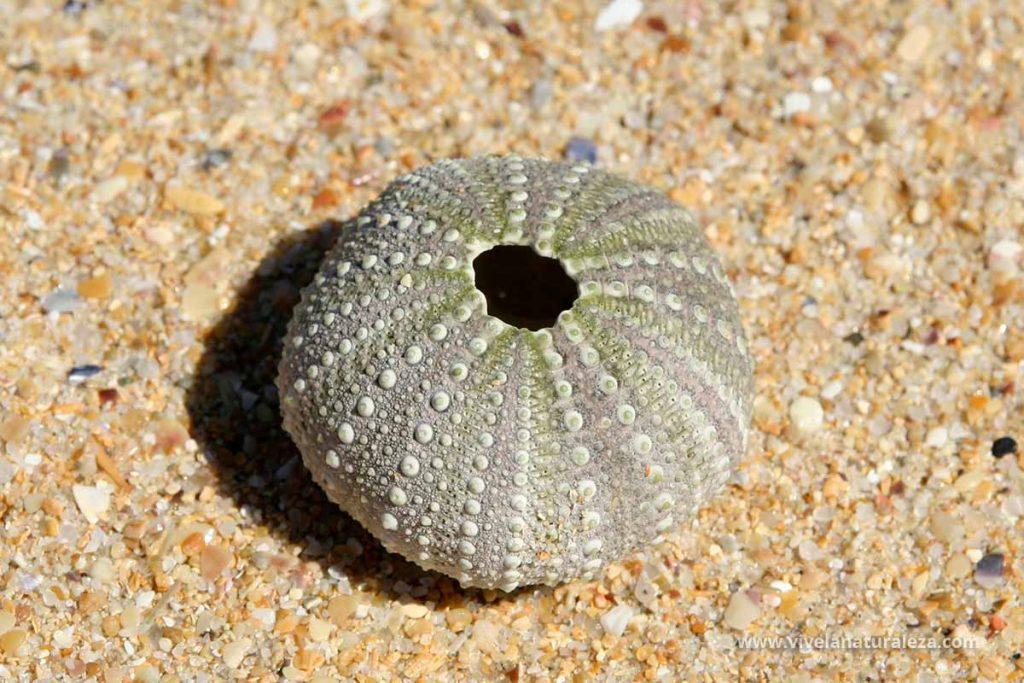 Esqueleto o caparazon de erizo de mar comun o castaña de mar (Paracentrotus lividus)