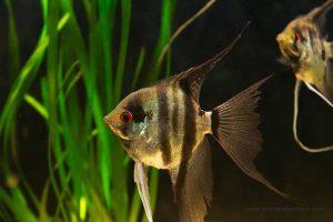 Escalar o pez ángel - Pterophyllum scalare