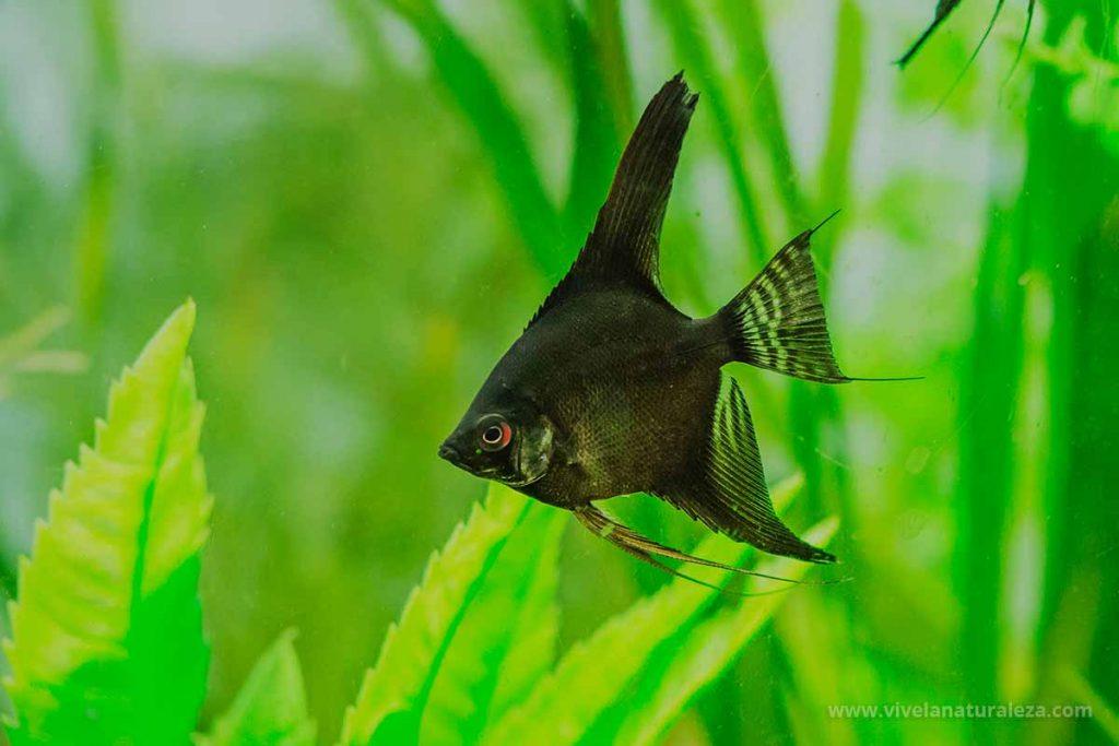 escalar o pez angel (Pterophyllum scalare) de color negro
