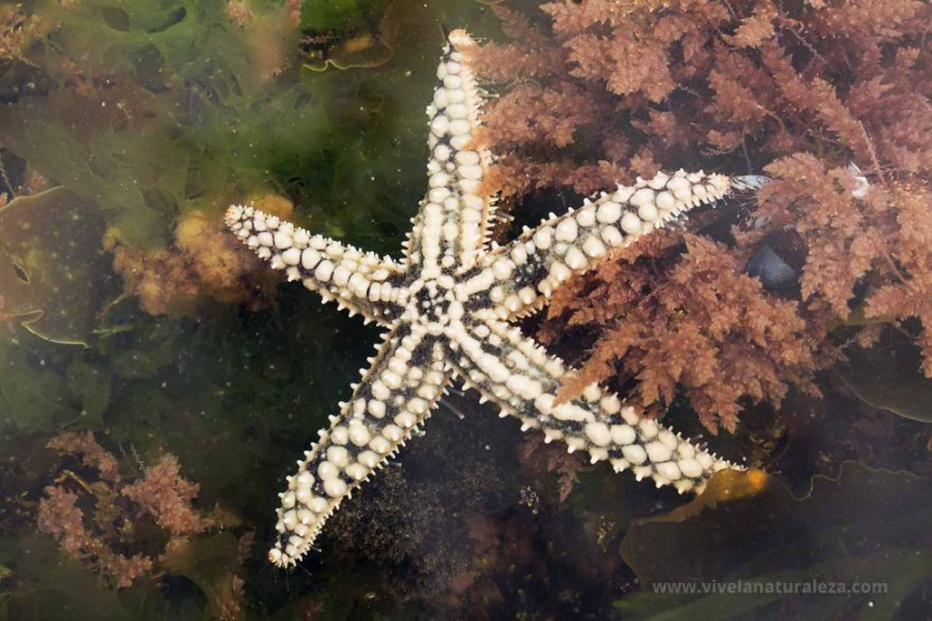 estrella de mar espinosa común (Marthasterias glacialis)
