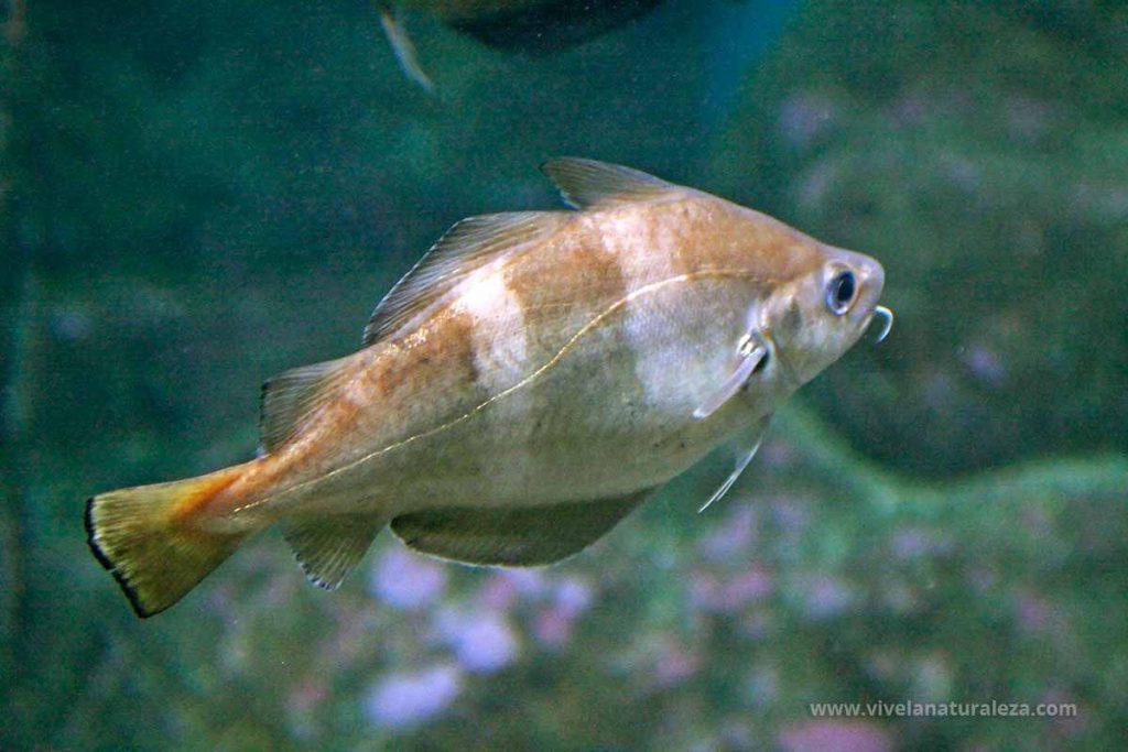Faneca (Trisopterus luscus)
