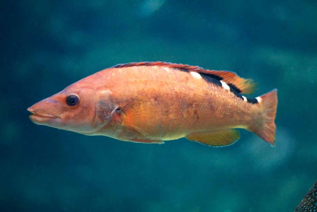 Hembra del pez Gallito de rey o gallano (Labrus mixtus, Labrus bimaculatus)