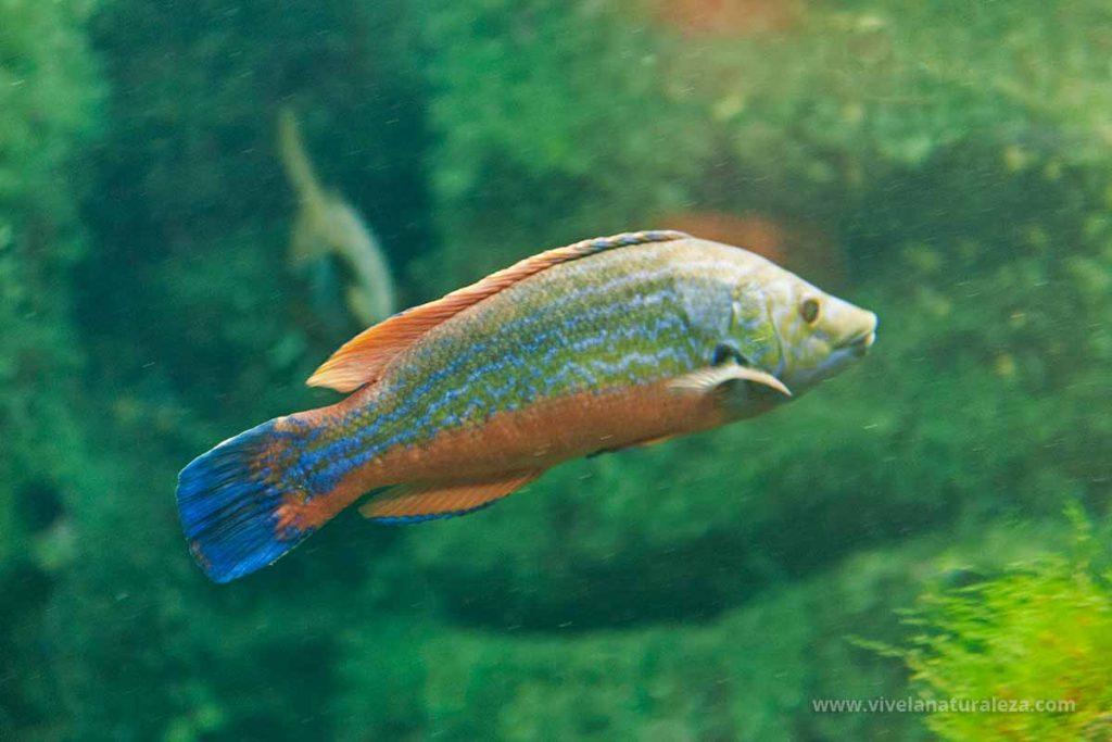 Macho del pez Gallito de rey o gallano (Labrus mixtus, Labrus bimaculatus)