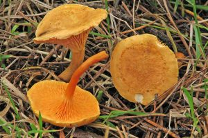 rebozuelo anaranjado (Hygrophoropsis aurantiaca)