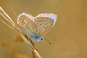 mariposa ícaro (Polyommatus icarus)