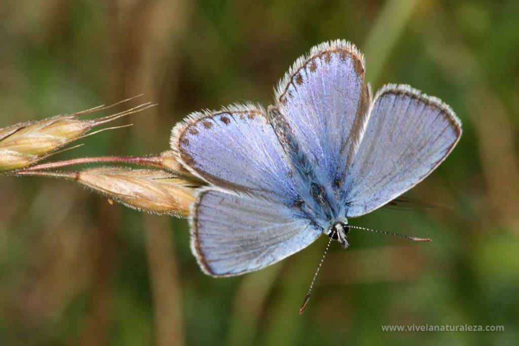 Mariposa Polyommatus icarus macho